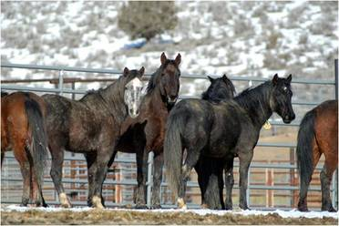 Wild Horses BLM holding facilities
