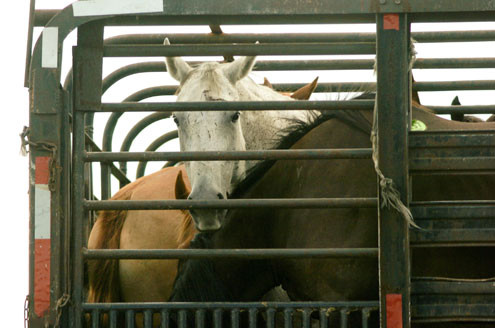 the slaughter of american horses Sign the petition to help ban the slaughter of innocent american horses for food speak up today and help stop this senseless act of cruelty.